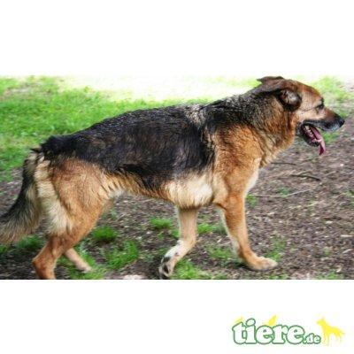 Zeb, Schäferhund Mischling - Rüde