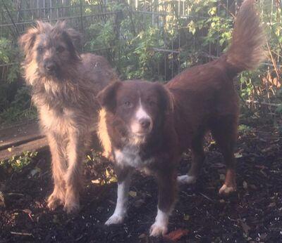 kastrierter Speriat in Hundepension in Franken, nicht stubenrein, nicht leinenführig, Terrier - Rüde