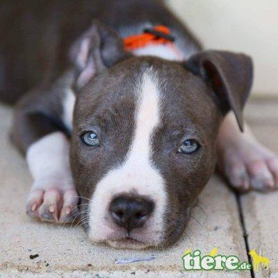 lucia, Amerikanischer Staffordshire-Terrier Welpen - Hündin