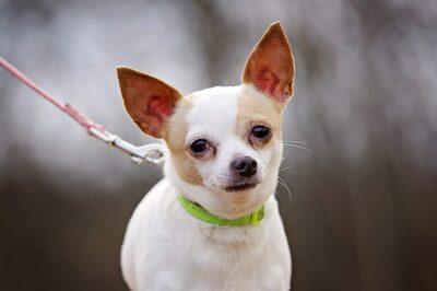 mimi, Chihuahua - Hündin