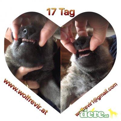 wolfrevir, Tschechoslowakischer Wolfhund Welpen - Hündin