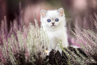 AUS DER MONDBURG, Britisch Kurzhaar Jungtier - Katze