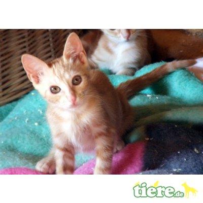 Aisha - FIV pos., Wunderschöne rote Zaubermaus - Katze