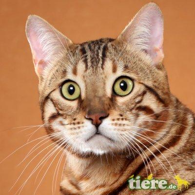 AlJanna Bengal-Zuchtkatze, Bengalkatze - Katze