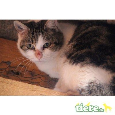 Alina, Europäische Kurzhaarkatze - Katze