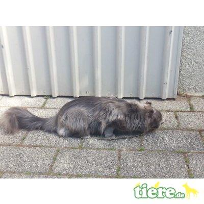 American Curl Longhair - Katze