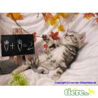 BKH black-silver-classic Tabby Kitten mit Pap, Britisch Kurzhaarkatze - Kater