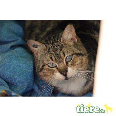 Belladone, Europäische Kurzhaarkatze - Katze