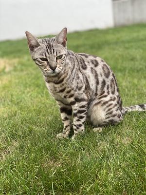 Bengal Katze, Bengal - Kater 1