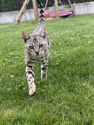 Bengal Katze, Bengal - Kater