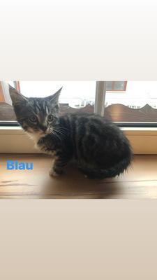 Bengal-Maine Coon Mix Jungtier - Katze