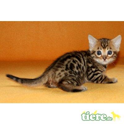 Bengalkater, Bengalkatzen, Bengalen, Bengalkatze - Kater