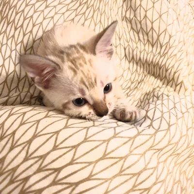 Bengalkatze Jungtier - Katze
