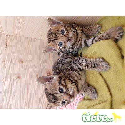 Bengalkatze - Kater