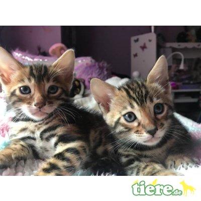 Bengalkatze - Katze 1