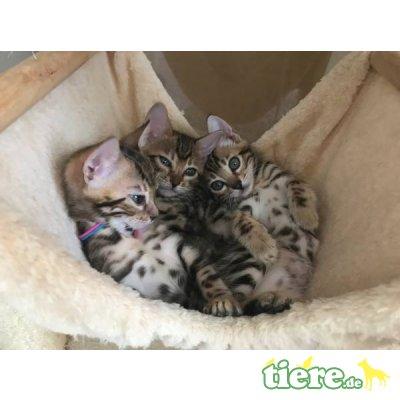 Bengalkatze - Katze