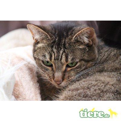 Bertille, Europäische Kurzhaarkatze - Katze 1