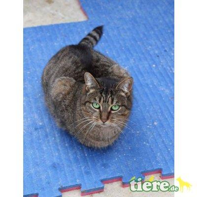Bertille, Europäische Kurzhaarkatze - Katze