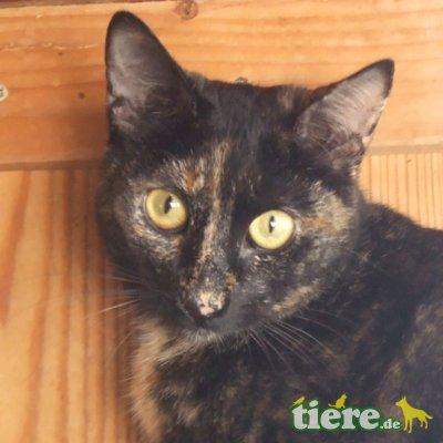 Bimba, wunderschöne Schildpattdame sucht Zuhause - Katze 1