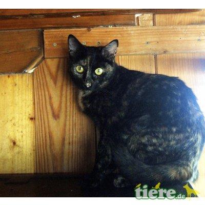 Bimba, wunderschöne Schildpattdame sucht Zuhause - Katze