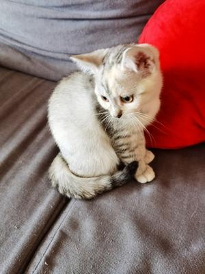 Bkh-Ekh Jungtier - Katze 1