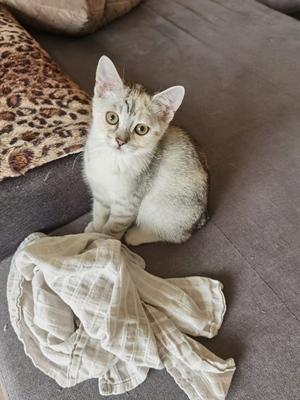 Bkh-Ekh Jungtier - Katze