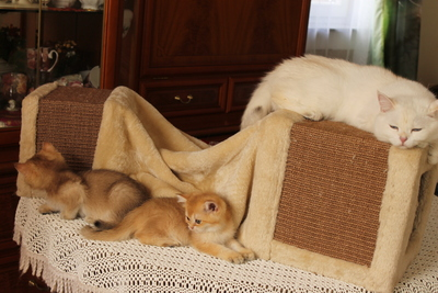 Britisch Kurzhaar - Katze