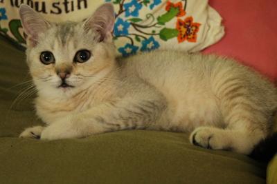 Britisch Kurzhaar - Katze 1
