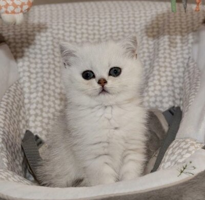 Britisch Kurzhaarkatze Jungtier - Katze