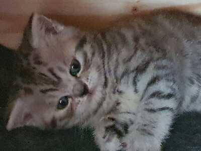 Britisch Kurzhaarkatze - Katze 1