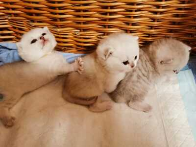 Britisch Kurzhaarkatze - Katze
