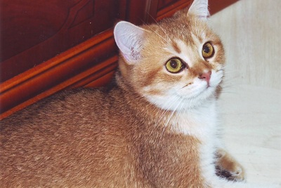 British Kurzhaar - Katze