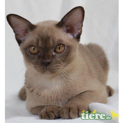 Burmakatze - Katze