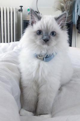 Chanty, Ragdoll Jungtier - Katze
