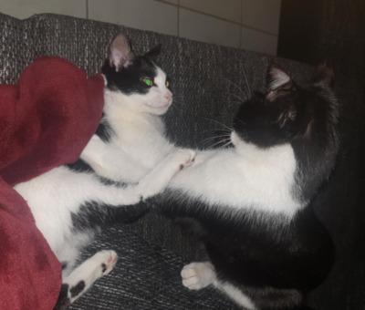 Clowns VILMA und NAKI/Schöffengrund(ALO), Europäische Kurzhaarkatze Jungtier - Katze