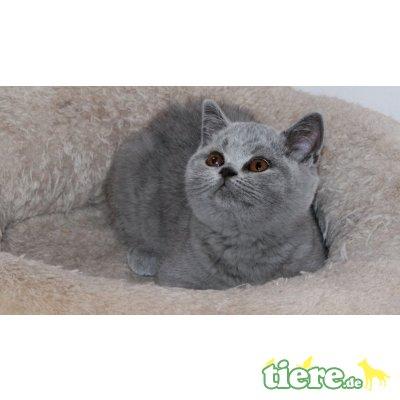 Coco, Britisch Kurzhaarkatze - Katze