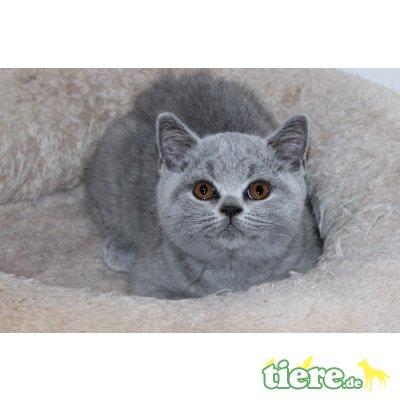 Coco, Britisch Kurzhaarkatze - Katze 1