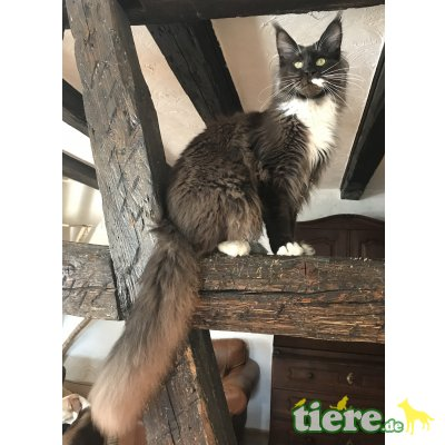 Conny, Maine Coon - Kater