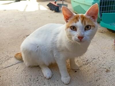 Desi, Europäisch Kurzhaar - Katze
