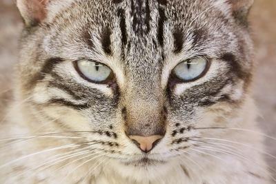 Diva, - Katze