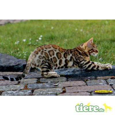 Diverse, Bengalkatze - Katze