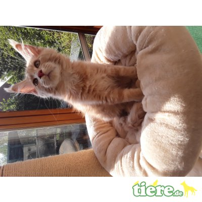 Drago, Maine Coon - Kater