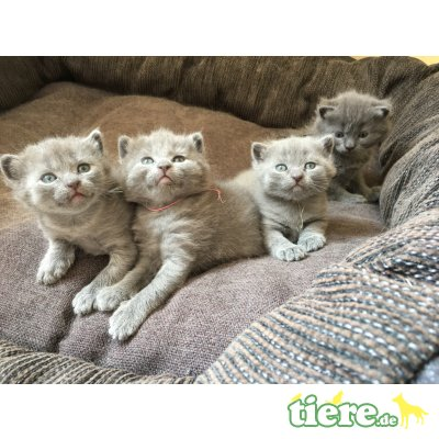 Falco,Fito, Chartreux - Kater