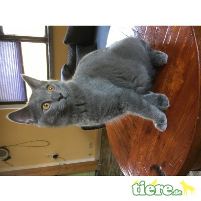 Falco,Fito, Chartreux - Kater 1