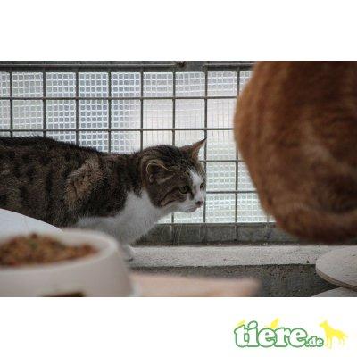 Fiona, Europäische Kurzhaarkatze - Katze