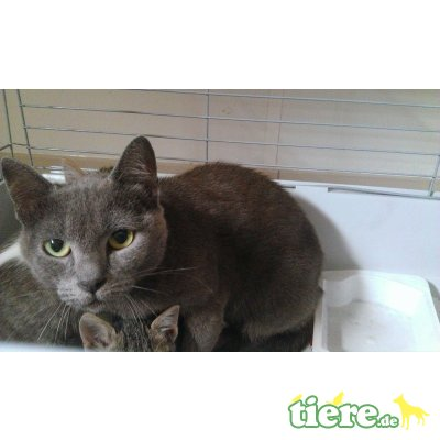 Galadriel, Kartäuser Mischling - Katze