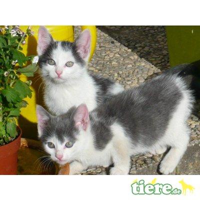 Hauskatzen - Kater