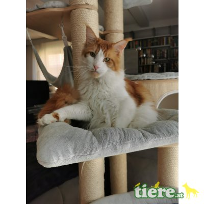 Henry, Maine Coon - Kater 1