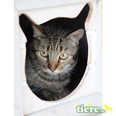 Isadora, Europäische Kurzhaarkatze - Katze
