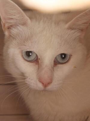 Juanita, Europäisch Kurzhaar - Katze 1